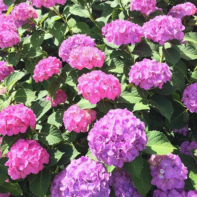 方法 紫陽花 挿し木 の