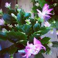 シャコバサボテンの育て方!葉摘みなどの管理や花を咲かせるコツをご紹介!
