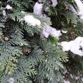 コニファーの種類図鑑!目隠しや生垣などお庭の用途別に12種をご紹介!