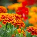 マリーゴールドの花言葉!意味や由来を色別でご紹介!贈り物には不向き?