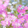 サクラソウ(桜草)の育て方!種まきや植え替えなど正しい時期と方法をご紹介!