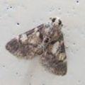 大量発生する小さい蛾「メイガ」の駆除・対策方法!発生源はどこにある?