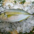 高級魚「シマアジ」の生態とは?気になる味や食べ方、釣り方までご紹介!