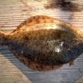 堤防でカレイ釣り攻略!釣れる時期から仕掛け、釣り方までイチから解説!