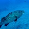 幻の高級魚!クエとは?その生態や釣り方、おすすめの食べ方をご紹介!