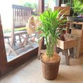 【幸運の木】サンデリアーナの育て方!植え替え・剪定方法や増やし方をご紹介!