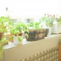 ベランダ菜園初心者におすすめの野菜12選!季節別に育てやすい種類をご紹介!
