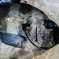 釣りでも人気な「シマダイ」とは?その釣り方と美味しい食べ方をご紹介!
