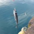 冬のサビキは何が釣れる?狙えるターゲットと釣り方をまとめてチェックしよう!