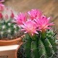 花が咲くサボテンの種類選!咲きやすい人気品種の花言葉や育て方もご紹介!