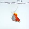金魚は巨大化する?衝撃の巨大金魚画像と、巨大化させる方法をご紹介!