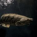 ポリプテルスとはどんな熱帯魚?種類や飼育方法、混泳について解説!