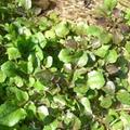 クレソンの栽培方法!適切な剪定のやり方や植え付けの時期はいつがおすすめ?