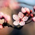 桜の挿し木での増やし方と育て方のコツ!時期や発根させるための方法を解説!