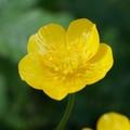 キンポウゲ(金鳳花)はどんな植物?花言葉や花が咲く季節などをご紹介!