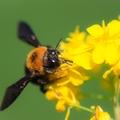 クマバチの駆除・退治の方法は?生態から考える駆除方法や注意点をご紹介!
