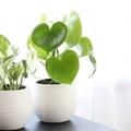 ダイソーの観葉植物おすすめ13選!大きく成長するものからミニサイズまでご紹介!