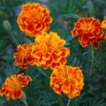 マリーゴールドを種から育てるには?種まきや植え替えなど気になるポイントを解説!