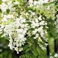 アカシアってどんな木?花の特徴や咲く季節、ミモザとの違いをご紹介!