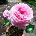 バラの育て方と気になる管理方法は?植え替えや剪定など手入れのコツを解説!