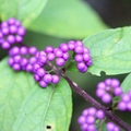 紫式部の花言葉は?植物の特徴や開花の季節、育て方までご紹介!