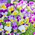冬の花特集!冬に咲く花や植える花など、楽しみ方別に寒さに強い種類をご紹介!