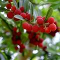 ヤマモモとは?食べられる実を付ける庭木の育て方や花言葉などを解説!