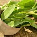 セージの育て方は?種まきから収穫・増やし方まで栽培のコツと手入れをご紹介!