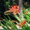 ヒメヒオウギズイセン(クロコスミア)って一体どんな花?特徴や育て方のポイントなどをご紹介!