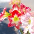 【綺麗に咲く】アマリリスの栽培方法・育て方を解説!庭植え・植え替えのやり方も