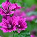 【驚愕】本当は怖い葵の花言葉の意味を解説!名付けにも使える漢字なの?