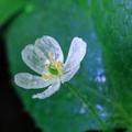 雨に濡れると透明になるサンカヨウとは?その理由から育て方、花言葉までご紹介!