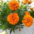 【連載】小さいながらも力強い花色が魅力!マリーゴールドの花言葉を解説!