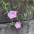 ヒルガオ(昼顔)の花言葉はつる性ならでは!花の色別と日本・海外の違いをご紹介!