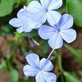 可愛らしい花で有名!ルリマツリ(瑠璃茉莉)はどんな花?その特徴や花言葉をご紹介‼