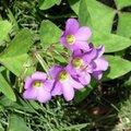 「ハナカタバミ」とは?気になる花の特徴や育て方、花言葉までご紹介!