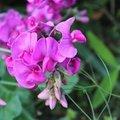 スイートピーの甘い香りを堪能しよう!自宅で簡単に栽培できる方法を解説!