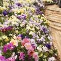 色とりどりの花!パンジーの正しい育て方!手入れ方法から開花の時期まで徹底解説!