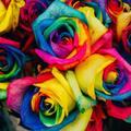 【本数・色別】レインボーローズの花言葉を解説!贈る相手にピッタリの花束を探そう!