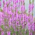 盆花として知られているミソハギの花言葉とは?花の種類やその由来もご紹介!